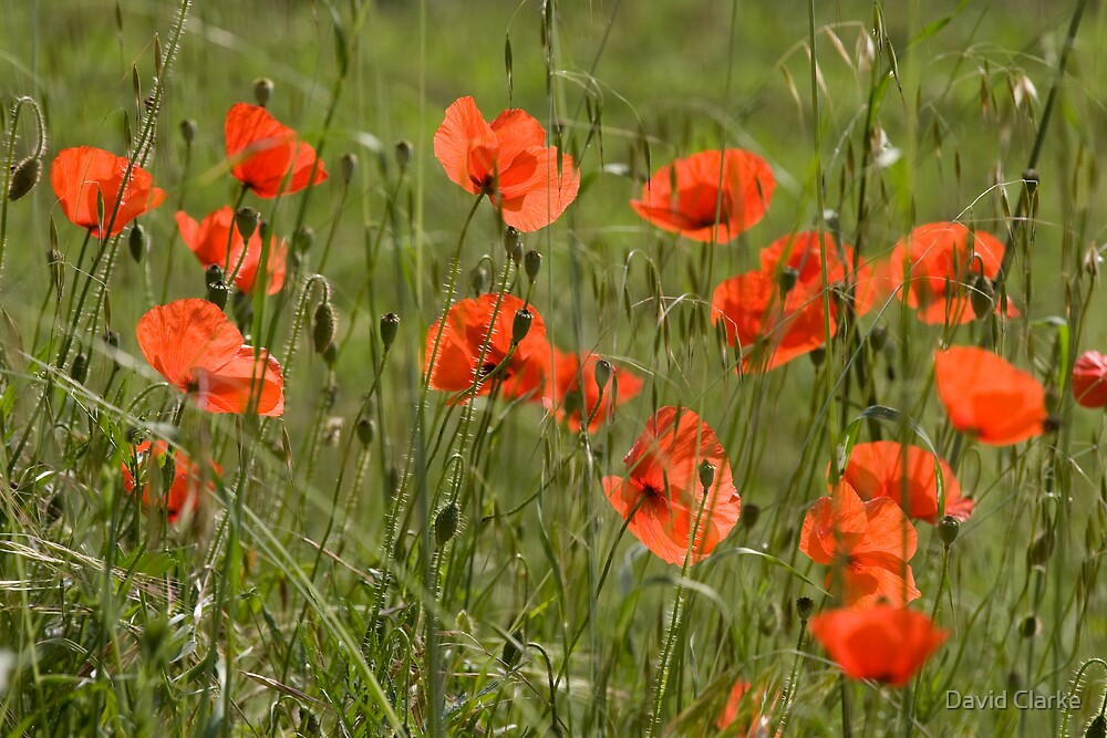 Poppies 3 by David Clarke