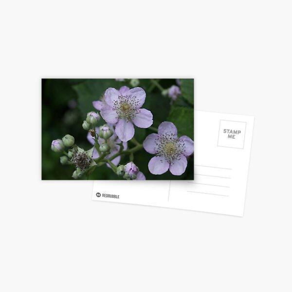 Blackberry flowers Postcard