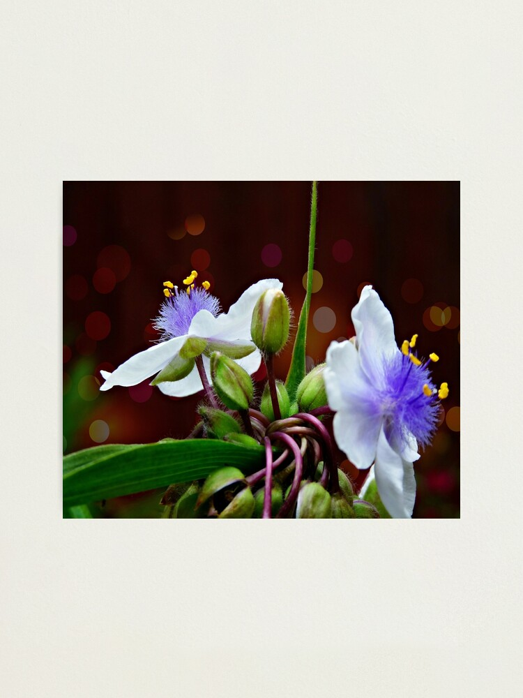 Alternate view of Tradescantia (Andersoniana Group) Landscape Photographic Print