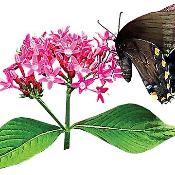 Black Swallowtail on Pink Lantana by SudaP0408