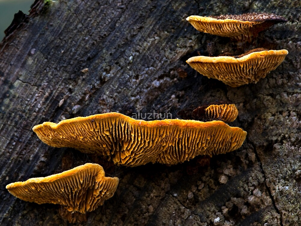 Bracket Fungi by aluzhun
