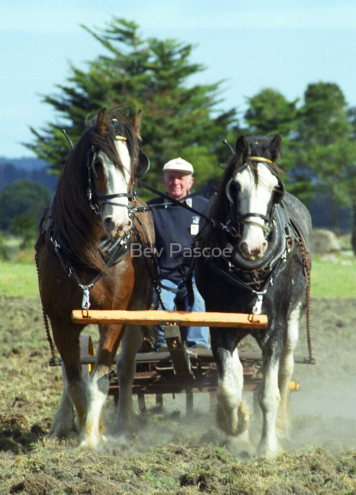 Two working Horses - South Gippsland, Victoria by Bev Pascoe