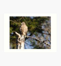 Broad-winged Hawk. Art Print