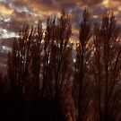 Poplars by spike