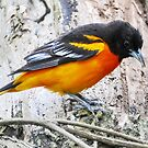 Baltimore Oriole by Nancy Barrett