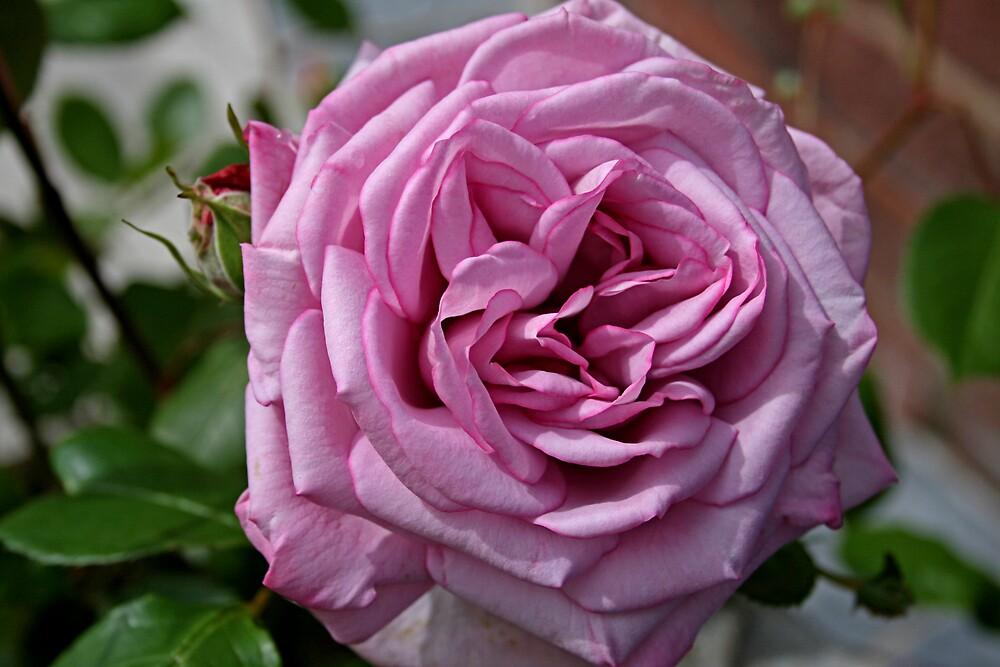 Lilac rose by jdphotos
