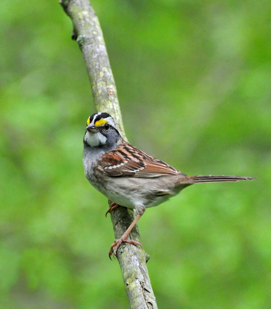 White-throated Sparrow by Nancy Barrett
