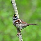 White-throated Sparrow by Nancy Barrett
