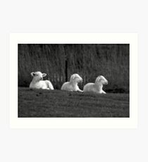 Three lambs Art Print