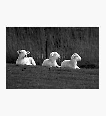 Three lambs Photographic Print