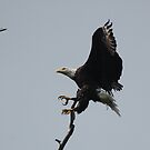 Landing Eagle by paintin4him