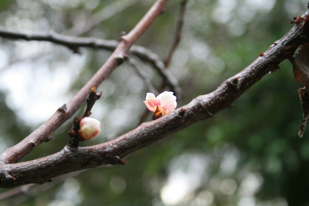 Blossom by ahowerton