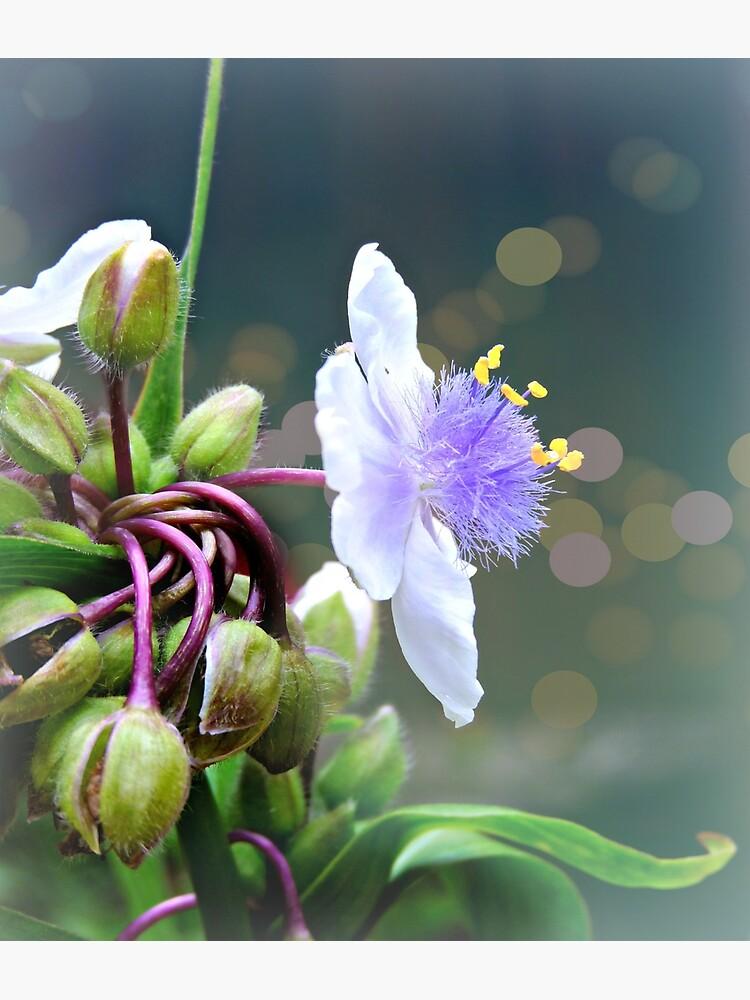 Tradescantia (Spiderwort)  by ScenicViewPics