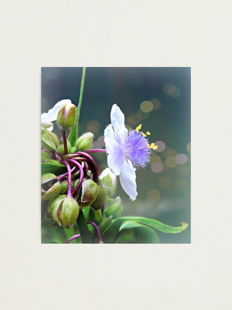 Alternate view of Tradescantia (Spiderwort)  Photographic Print