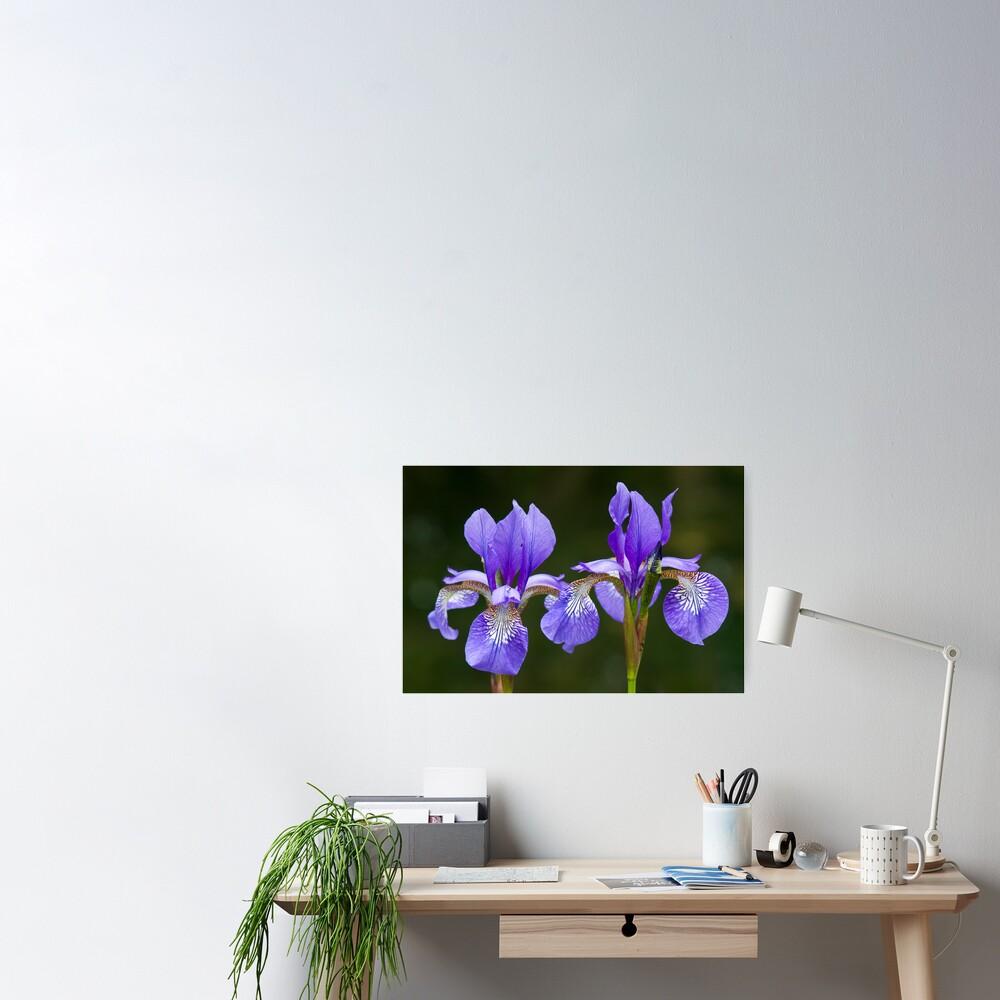 Purple Iris (Iris versicolor) Poster