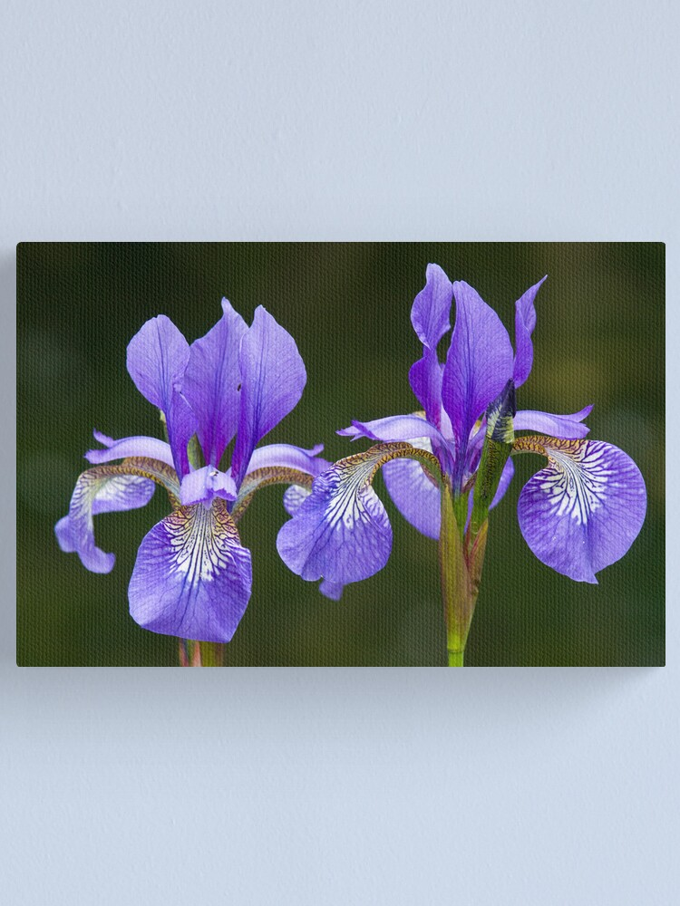 Alternate view of Purple Iris (Iris versicolor) Canvas Print