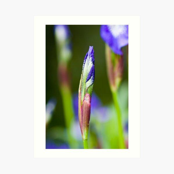 Purple Iris Bud (Iris versicolor) Art Print