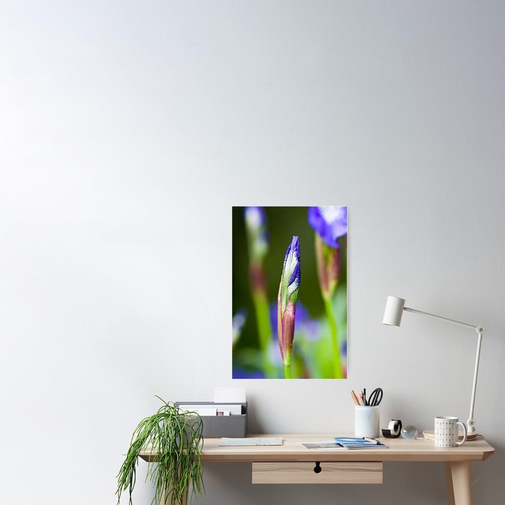 Purple Iris Bud (Iris versicolor) Poster
