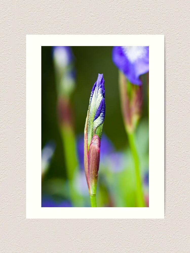 Alternate view of Purple Iris Bud (Iris versicolor) Art Print