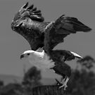 Fish Eagle (Haliaeetus vocifer) by Deborah V Townsend