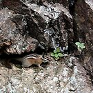 Chipmunk Climbing Seven Falls, Colorado USA by Lori Peters