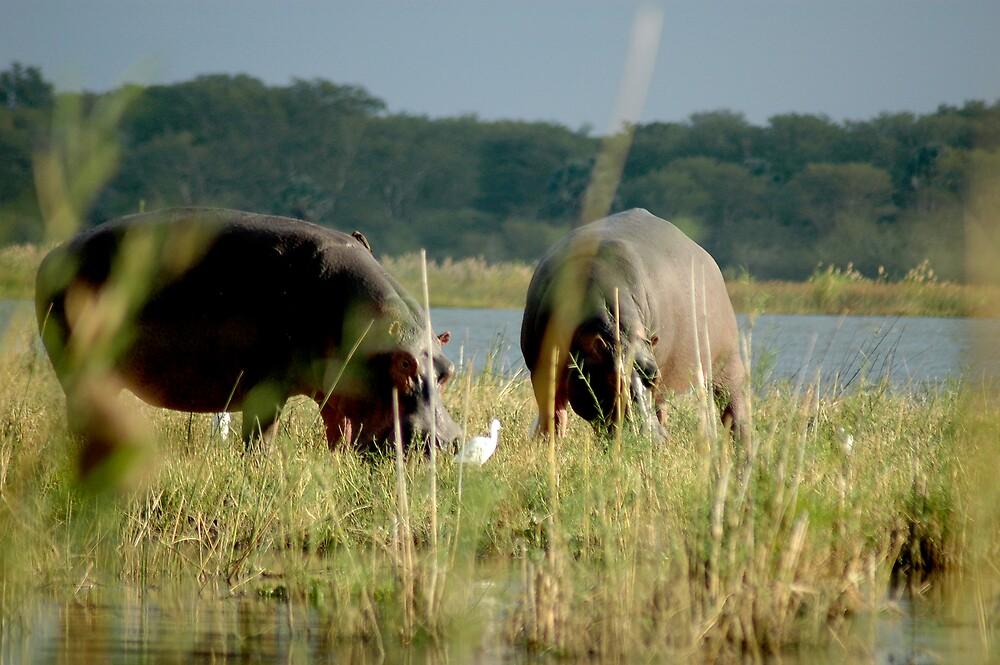 Grazing hippo by DUNCAN DAVIE