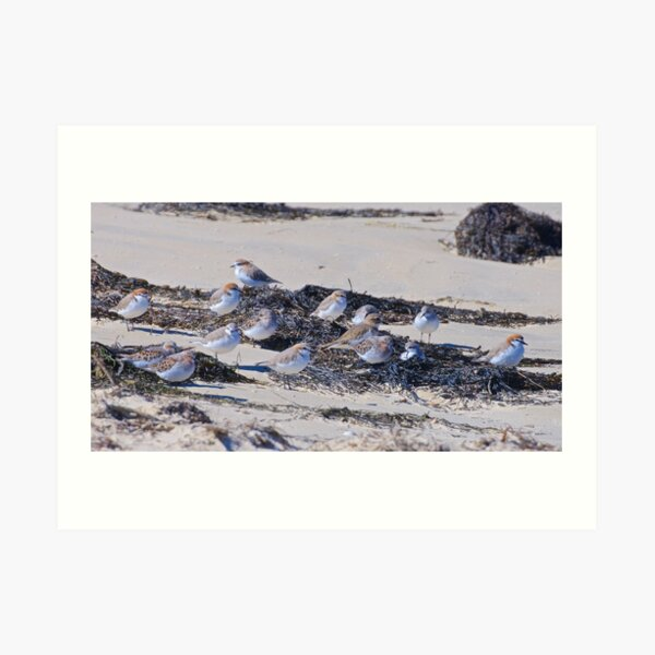 SHOREBIRD ~ Stint, Red-capped Plover, Double-banded Plover zqWvw38F by David Irwin Art Print