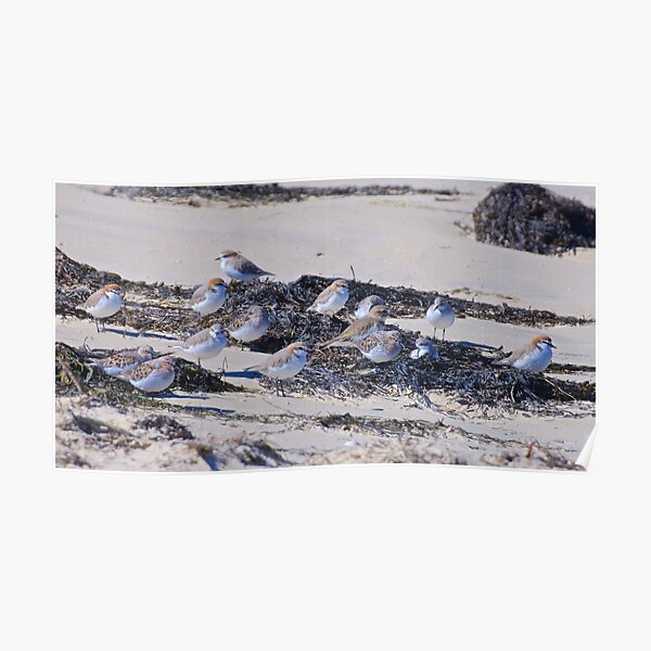 SHOREBIRD ~ Stint, Red-capped Plover, Double-banded Plover Poster
