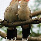 #1369 - Guira Cuckoo by MyInnereyeMike