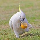 Australian Cockatoo eating an orange by Doug Cliff