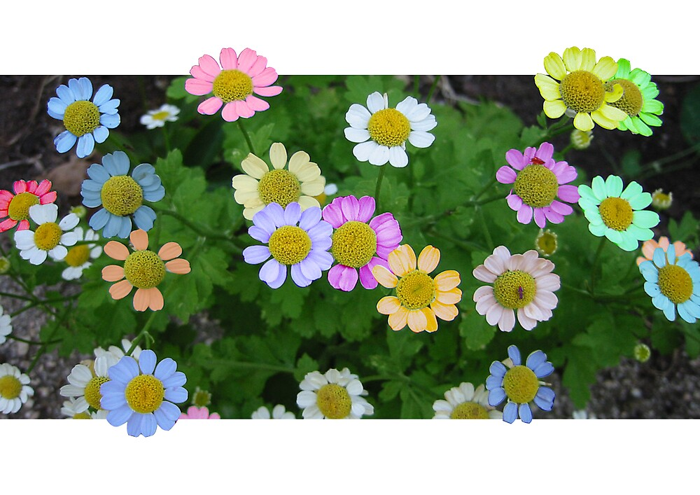 Coloured Daisies by Quinton Smith