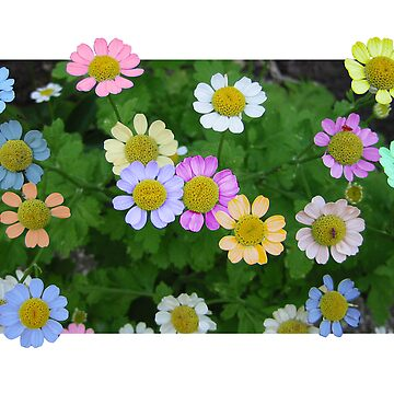 Coloured Daisies by quintonsmith