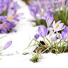 Crocus in the Snow by Andy Freer