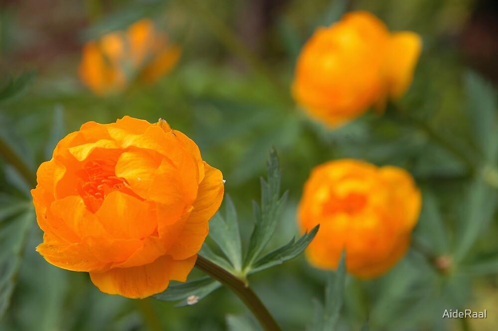 Yellow (globe-flower) by AideRaal