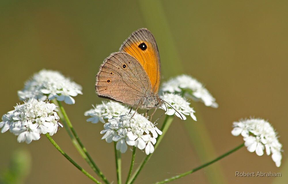 Turkish Meadow Brown by Robert Abraham