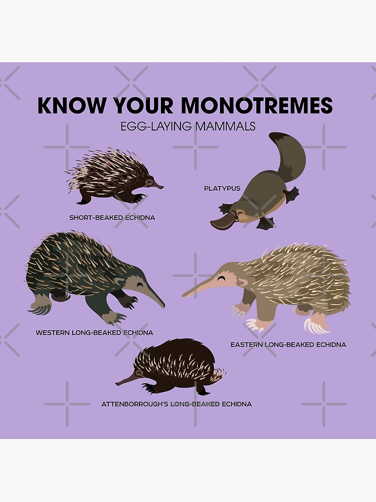 Know Your Monotremes by PepomintNarwhal