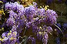Wisteria at Upton House by John Dalkin