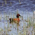 Cinnamon Teal by Alyce Taylor