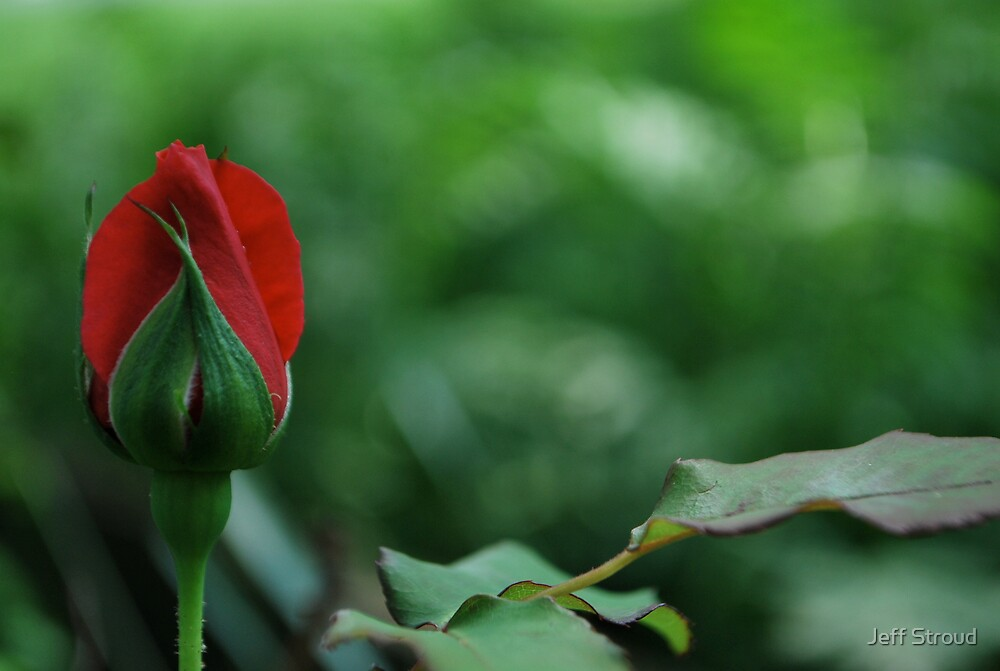 The first Rose bud  by Jeff stroud
