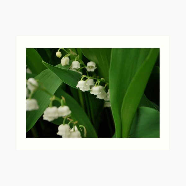 Lily's of the valley.  Art Print