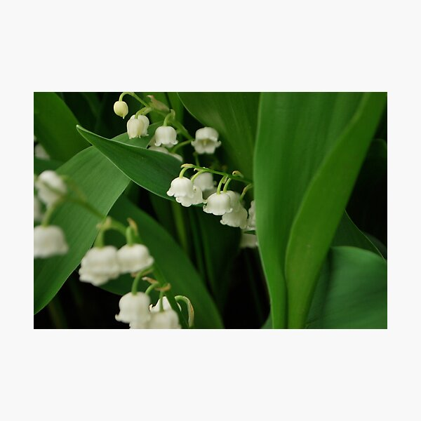 Lily's of the valley.  Photographic Print
