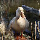 Saxony Duck by imphavok