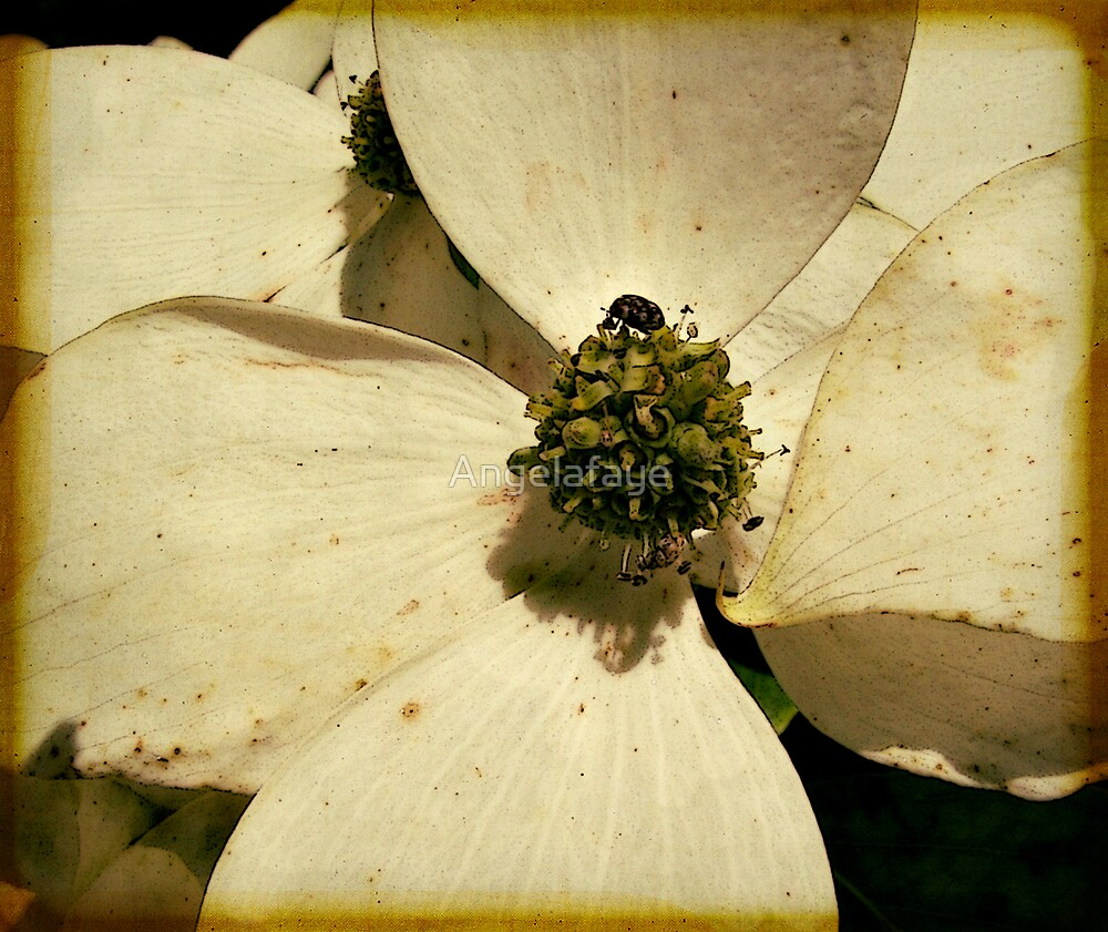 close up of a Dogwood by Angelafaye