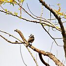 Perched Tufted Titmouse  by Cynthia48