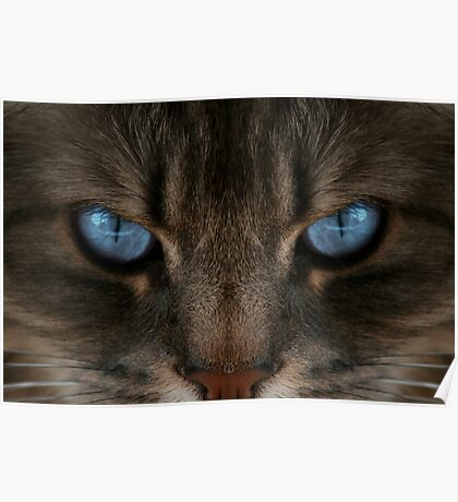 Clear Blue Eyes Cat Poster