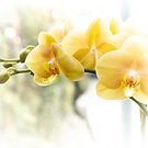 Yellow Moth Orchids in the Sun by MotherNature2