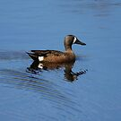 Blue-Winged Teal by Alyce Taylor