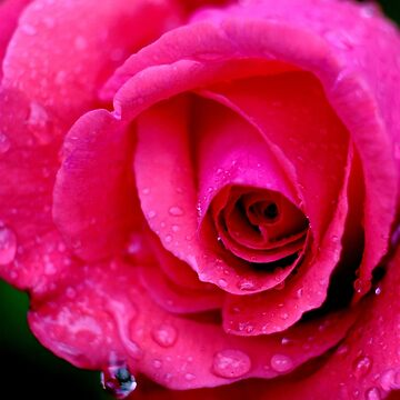 Rose fantasy by belka