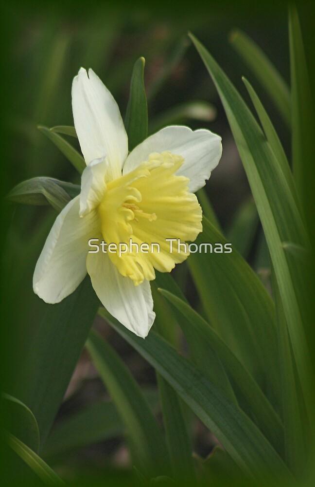 Beautiful Daffodil by Stephen Thomas