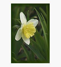 Beautiful Daffodil Photographic Print
